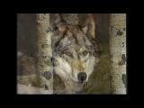 ЛЮБЭ--- ЛУНА История волка